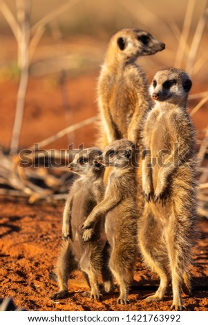 Meerkats waking up in the morning