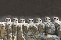 meerkets