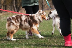 Meet the border collie and Aussie in the park on leashes. Walk with the sheepdogs in the fresh air. Red Merle is an Australian shepherd and collie.