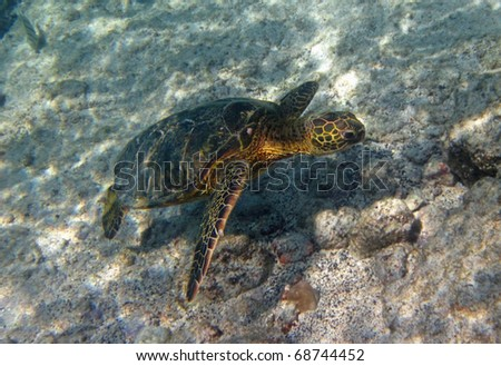Meet the Green turtle (Chelonia mydas) near Kona (Big Island, Hawaii) during a snorkel trip 02