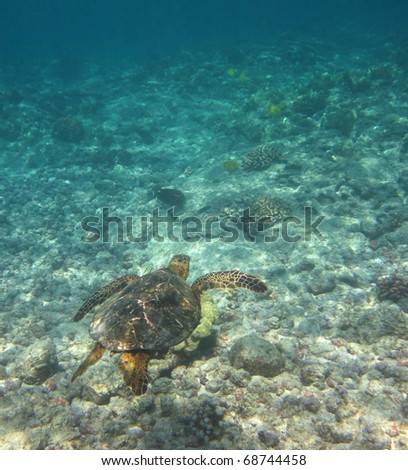 Meet the Green turtle (Chelonia mydas) near Kona (Big Island, Hawaii) during a snorkel trip 01