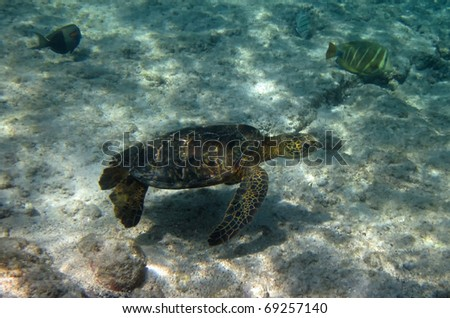 Meet the Green turtle (Chelonia mydas) near Kona (Big Island, Hawaii) during a snorkel trip 03