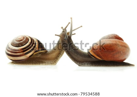 Meeting of two snails isolated on white background, concept of kissing each other, focused on head