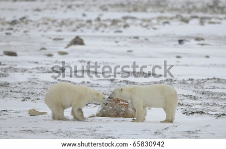 Meeting. Two polar bears have met and sniff each other. Tundra in snow.