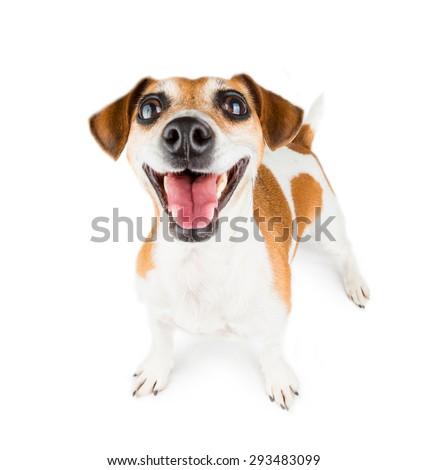 Mega positive sincere smile dog. Big wide tooth smile.  On white background