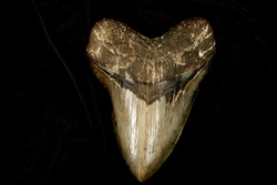 """Megalodon tooth on black. most adult Megalodon teeth are in the 4-5"""" size range, a few massive, fossil teeth have been found in excess of 7"""