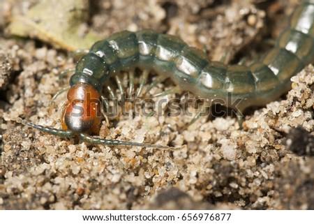 Megarian banded centipede or Mediterranean banded centipede (Scolopendra cingulata)