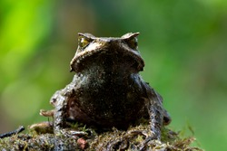 Megophrys montana toad side view, animal closeup
