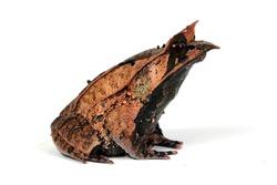 Megophrys nasuta toad closeup on white background, Megophrys nasuta toad closeup