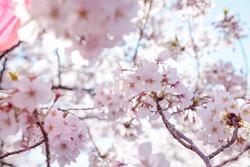 Meguro River Cherry Blossom Festival