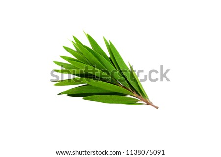 Melaleuca (Tea Tree) Branch. Isolated on White Background. #1138075091
