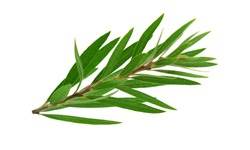 Melaleuca (Tea Tree) Isolated on White Background.
