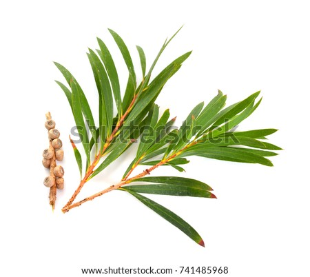 Melaleuca (tea tree) twigs with leaves and seeds. Isolated on white background.