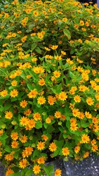 Melampodium is a bright and carefree annual flower that is rarely used.  Also known as butter flower, this sun-loving cutie gifts its grower with constant bloom and with a lush disposition.