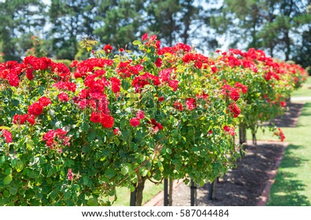 Melbourne, Australia - January 28, 2017: the Victorian State Rose Garden in Werribee has more than 5000 roses. #587044484