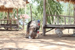 Meleagris Turkey mating country Thailand