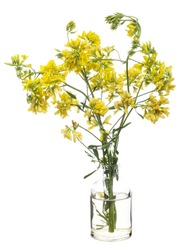 Melilotus altissimus ( tall yellow sweetclover or  kumoniga) in a glass vessel with water