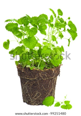 melissa in dirt on white background. lemon balm herb. green mint plant