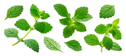 Melissa officinalis collection, lemon balm sprig and leaves isolated on white background with clipping path