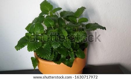 Melissa officinallis Pot of lemon balm herbs garden herbs