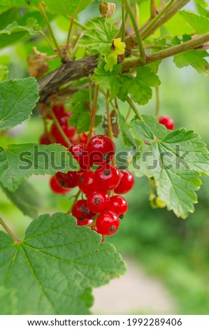 Mellow red currant growing in the garden Foto stock ©