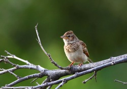 Melodious lark (Mirafra cheniana) in the Krüger National Park, South Africa