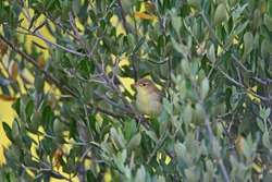 melodious warbler Latin hippolais polyglotta family sylvidae a passeriform bird sitting in an olive tree in Italy similar to an olivaceous warbler