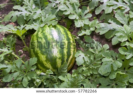 Melon field