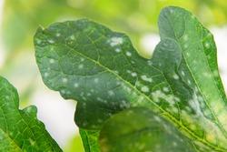 Melon green leaf has Destroyed by Powdery mildew of melon