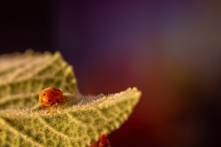 Melon ladybug (Henosepilachna argus) on a Gherkin of the devil at sunset
