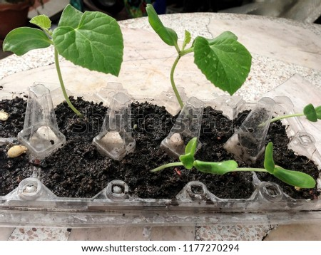 Melon planted in soil, non-toxic planting methods. Healthy plants concept. #1177270294
