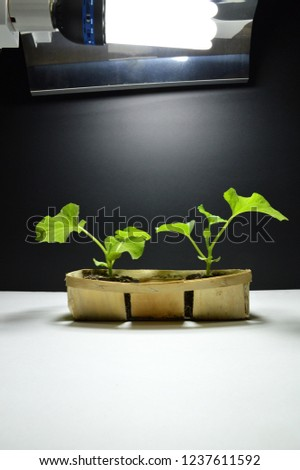 Melon plants planted in pieces of ground plant, and growing under growth lamp in indoor culture. #1237611592