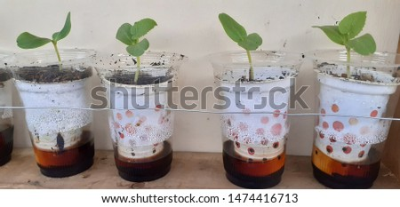 MELON SEED SPROUT ON PLASTIC CUP.THIS IS HYDROPONIC PLANT SEEDING FOR HYDROPPNICS