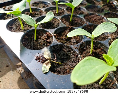 Melon seedlings. Damping off disease causal agent Pythium sp. ストックフォト ©