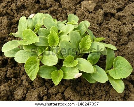 stock-photo-melon-seedlings-growing-on-the-vegetable-bed-148247057.jpg