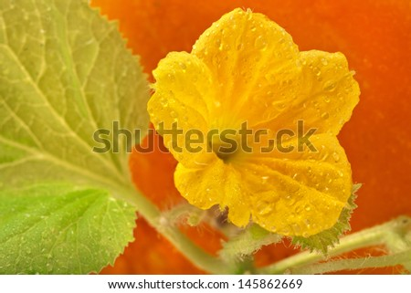 Melon  vine  leaves with bud close up macro background