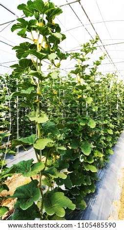 Melons growing vertical in a greenhouse #1105485590
