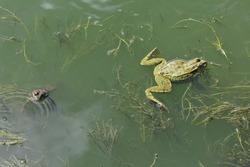 Mem, humor - The lake frog quarreled and diverge