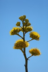 Member of Agave family, Parry's agave bloom once in their life about every 25 years