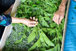 Men and woman feeding silkworms by fresh mulberry leaves in traditional way, top viewpoint