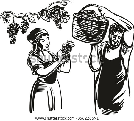 Men and women harvest the grapes in the vineyard.