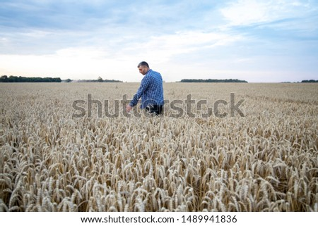 Men hand holding ears of wheat in a wheat field. Ripe Ears of Wheat. Farmer in wheat field.