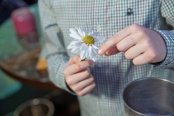 Men's hands tearing petals with chamomile . Guessing on a camomile  .He Loves Me, He Loves Me Not  . Daisy flower in a child hand . Close up woman hand tears off petals of daisy flower.