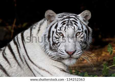 Stock Photo Menacing stare of a white bengal tiger.