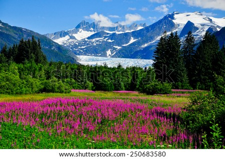 Mendenhall Glacier Viewpoint with Fireweed in bloom Stock fotó ©