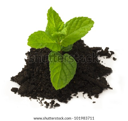 mentha plant on the soil isolated