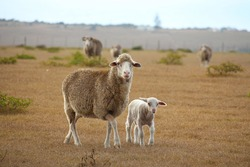 Merino sheep ewe with her lamb, walking on a farm in the Garden Route of South Africa.