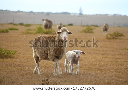 Photo of  Merino sheep ewe with her lamb, walking on a farm in the Garden Route of South Africa.