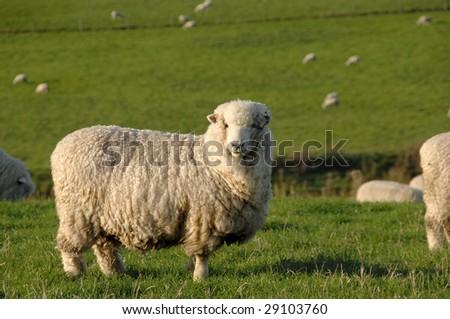 stock photo   merino sheep on