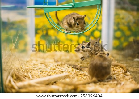 Meriones unguiculatus, the Mongolian jird or Mongolian gerbil is a rodent belonging to subfamily Gerbillinae